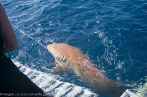 A large nurse shark