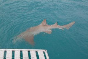 A large nurse shark swims away after being released