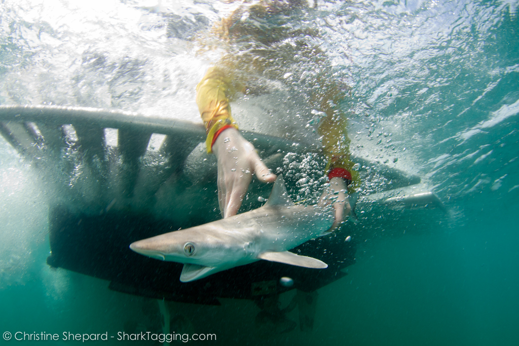 An Atlantic Sharpnose Shark is released back into the waters off of the Florida Keys after a brief sampling and tagging procedure aboard the R/V Ensley with the RJD research team.