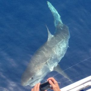 Great white shark in the Florida Keys.