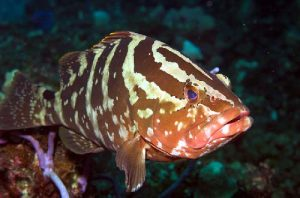 The over-exploited Nassau grouper is much larger than the coney, but has a lesser appetite for fish until it is significantly into adulthood. Photo credit: Colin Zylka/ Marine Photobank
