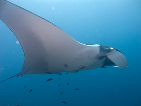 Manta ray, wikimedia commons