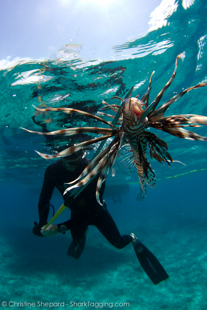 A fisherman spears an invasive lionfish in the warm, shallow waters of Nassau, Bahamas.