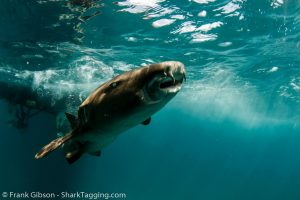 A nurse shark swims freely away from the boat after the work up procedure
