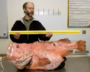 BOFFFFs: Big (1.1m), old (ca.100 years), fat (27.2 kg), fertile female fish: Shortraker rockfish (Sebastes borealis). Image Source: Karna McKinney, Alaska Fisheries Science Center, NOAA Fisheries Service