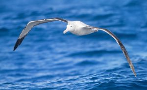A wandering albatross (Diomeda exulans) off Tasmania, Australia. Photo courtesy of JJ Harrison via Wikimedia Common