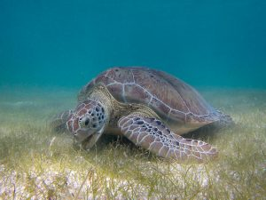 A green sea turtle grazes on seagrass, an important food source for this endangered species. Photo courtesy of P. Lindgren via Wikimedia Commons