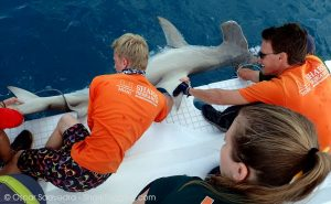 A great hammerhead shark is secured next to the boat.
