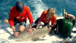 A large lemon shark is secured while blood is being drawn.