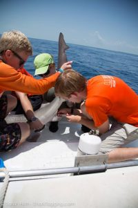 RJD intern Hanover draws blood from a shark's caudal vein