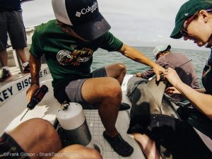 Trip leader Pat Goebel and graduate intern Julia Whidden affix a satellite tag to the dorsal of a huge female bull shark.