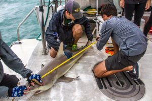 A student helps measure the total length of the shark.