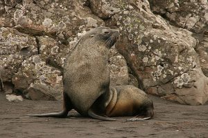 Antarctic fur seals pose a trampling threat to the continent's vegetation (Mulichen, 2008).