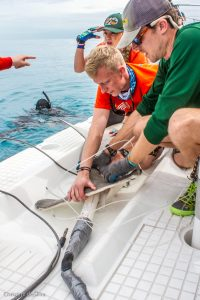 SRC interns Robbie Roemer, Jake Jerome, and Shannon Moorhead secure a female hammerhead shark to the platform