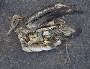 Unaltered remains of an albatross chick at Midway Atoll. Photo by Chris Jordan of the US Fish and Wildlife Service.