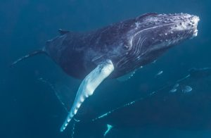 Figure 1. A free swimming humpback whale, that managed to avoid fishing gear entanglements.