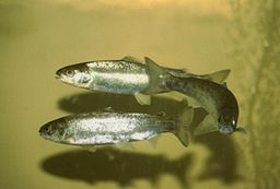 Figure 1: Atlantic salmon smolts. Their silvery color shows that they are ready to leave their freshwater home and migrate to the ocean, where they breed.