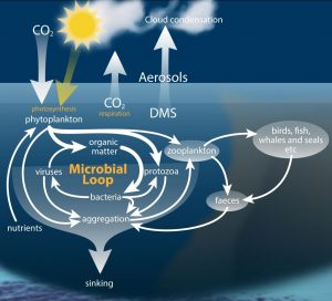 Figure 2. Microbial communities graze, break down, recycle and respire nutrients in the ocean helping to maintain an interconnected web of carbon transfer.