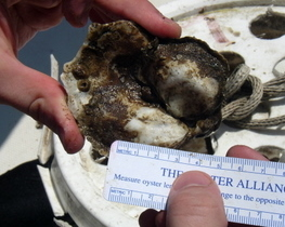 Measurements of Chesapeake Bay oysters taken by NOAA