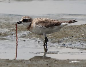 This Japanese coastal bird feeds off a small ragworm, species that are globally collected as bait. When too many worms are removed by collectors, it can have serious consequences for the animals that rely on them for food. (source: https://commons.wikimedia.org/wiki/File%3ACharadrius_mongolus_stegmanni_eating_ragworm.JPG)
