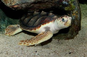 Loggerhead turtle, species who provided the turtle eggs. (Photo from Wikipedia Commons)