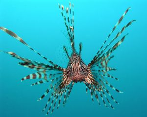 Image of the red lionfish (Pterois volitans) displaying its characteristic fins and venomous spines. (From Wikimedia Commons)