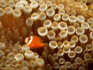 An anemonefish next to an anemone, Entacmaea quadricolor, the kind used in the study. [Wikimedia Commons]