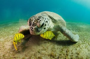 Green Sea Turtle, Chelonia mydas. (Your Shot National Geographic, 2013) http://yourshot.nationalgeographic.com/photos/2387735/?source=gallery)