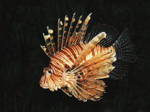 Indo-Pacific Lionfish: Pterois volitans. Popular in the aquarium trade for their superfluous body shape and coloration, Indo-Pacific lionfish pose a threat to invaded areas due to their voracious appetite and extreme reproductive capacity.  Image source: Wikimedia Commons
