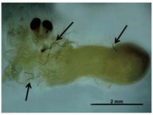 Plastic debris inside a penaeid shrimp, a primary food source for adult Acoupa weakfish (Ferreira et al., 2016)
