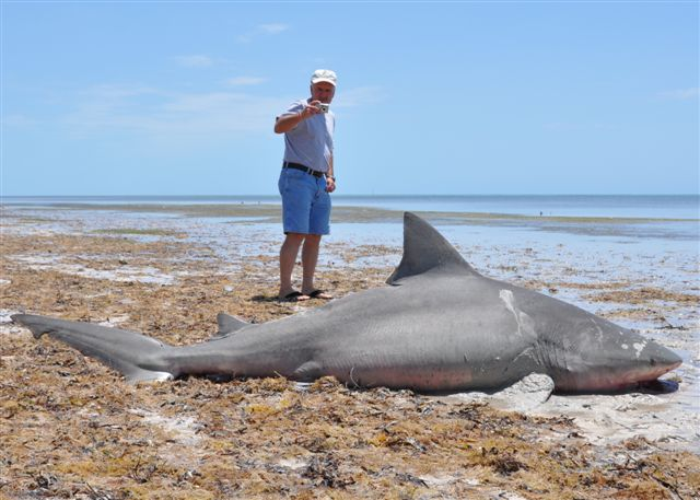Sad day for sharks 2 pregnant sharks killed from for Delray beach fishing
