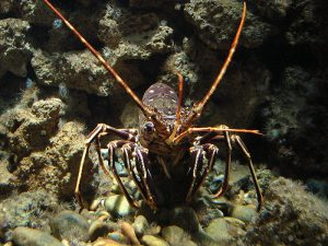 """European spiny lobster populations """"spill-over"""" the boundaries of Mediterranean marine reserves and contribute to commercial fishing catch.  Source: http://commons.wikimedia.org/wiki/File:Palinurus_elephas_Rhodes.jpg"""