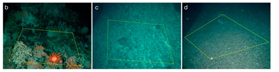 "Figure 4 from Althaus et al. (2009).  ""Representative images of seamounts (b) that were never trawled, (c) where trawling ceased 5 to 10 yr ago and (d) where trawling is active."""