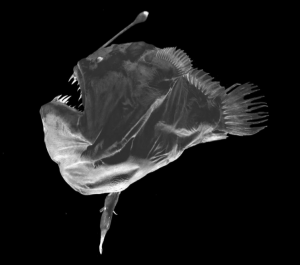 A deep sea anglerfish