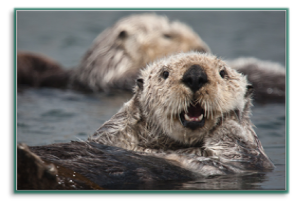 Sea otter. Photo credit: Wikimedia Commons
