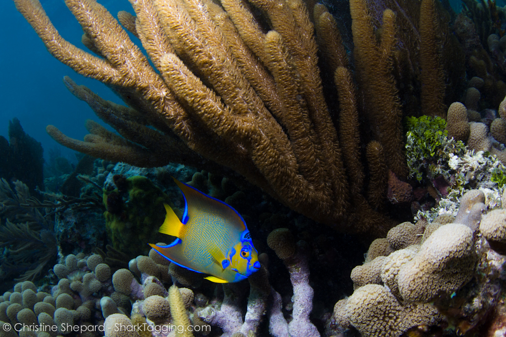 A queen angelfish (Holacanthus ciliaris) swims along a coral reef near Miami, Florida.