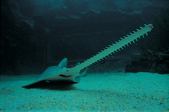 The rostrum of a smalltooth sawfish is edged with pairs of teeth that they use for predation.
