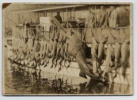 Historically, fishermen easily caught smalltooth sawfish for meat using a variety of fishing gear, including gill nets and trawl nets.