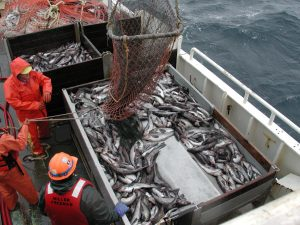 Overfishing has caused fisheries to be exploited or in some cases overexploited, making marine protected areas a much more critical tool in marine conservation. (source: wikimedia commons http://commons.wikimedia.org/wiki/File:Theragra_chalcogramma_fishing.jpg)