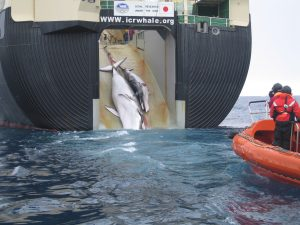 Minke whale and calf dragged aboard Japanese whaling vessel