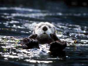 A Sea Otter floating on its back in seagrass.