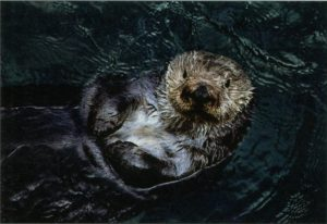 Figure 1. A sea otter at the Monterrey Bay Aquarium laying on its back, a characteristic pose of this animal (Cohn 1998).