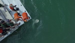 Bull shark aerial view Caption: Jake and Dr. Hammerschlag reeling in a bull shark