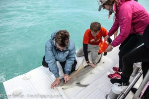 Figure 3: Length measurements are taken from a blacktip shark.