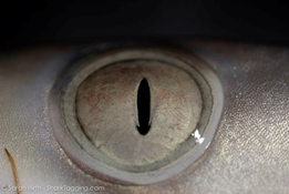 Up close and personal with the eye of a blacktip shark