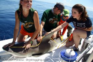 A student helps to take measurements of the sandbar shark.