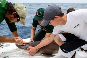 : A student performs a reflex test to check for stress by streaming water in its eye. By checking for the nictitating eyelid, the sharks 'eyelid' we can gauge the shark's stress levels