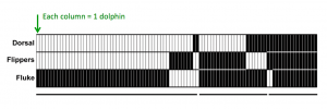 Figure 2: When dolphins were found with X. globicipitis barnacles, they were most likely on the caudal fin.