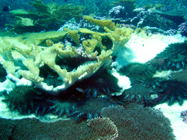 A COTS outbreak at Kingman Reef in the North Pacific. Photo Credit: Molly Timers, NOAA PIFSC (http://www.pifsc.noaa.gov/cred/crown-of-thorns_seastar.php)