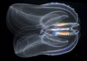 An adult Mnemiopsis leidyi, a representative member of the ctenophore phylum (Ryan et al. 2013)